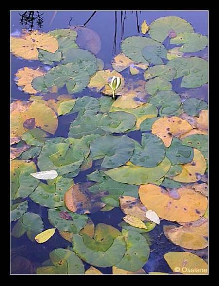 Petit Coeur de Lune Consolé par les Lotus, Bercement de l\\'Automne.