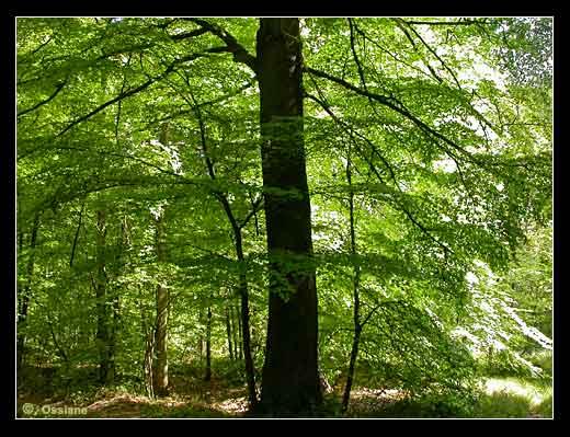 A  L'Ombre du Grand Arbre Dressé, le Rideau aux Reflets Mordorés Voile la Lumière de l'Eté. Le Frémissement des Feuilles Libère la Fraîcheur de la Forêt.