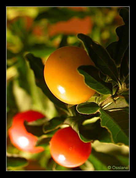 Les fruits l 39 oeil ouvert photo et po sie - Pommier d amour entretien ...