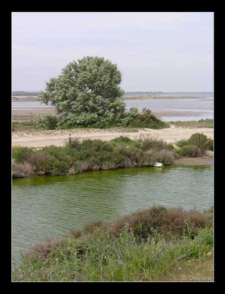 Le Saule Salix.